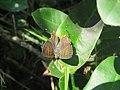 Spindasis lohita - Cigaritis lohita - Long-banded Silverline at Mayyil (3).jpg