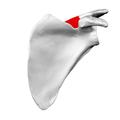 Spine of left scapula04.png