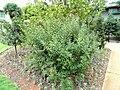 Spiraea cantoniensis - Kunming Botanical Garden - DSC03203.JPG