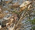 Spot-billed Pelican (Pelecanus philippensis) feeding juveniles in Garapadu, AP W IMG 5330.jpg