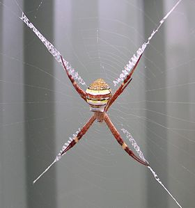 St Andrews Cross spider.JPG