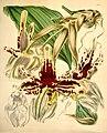 Stanhopea tigrina - Curtis v. 71 (ser. 3 no. 1) pl. 4197 (1845).jpg