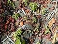 Starr-010330-0580-Pimenta dioica-seedlings-Rainbow Park Paia-Maui (24236539530).jpg
