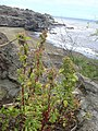 Starr-040330-0342-Chenopodium murale-habit-Hakioawaiki-Kahoolawe (24332528149).jpg