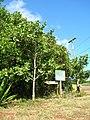 Starr-050516-1230-Clusia rosea-habit-Puu o Pipika-Molokai (24134243214).jpg