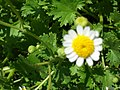 Starr-050525-1887-Perityle emoryi-flower-Gravel pit-Kahoolawe (24133841054).jpg