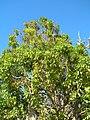 Starr-051217-5755-Cinnamomum camphora-habit-Auwahi-Maui (24222127844).jpg