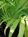 Starr-080103-1160-Syagrus romanzoffiana-leaves-Lowes Garden Center Kahului-Maui (24531317159).jpg