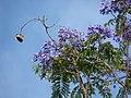 Starr-080417-4085-Jacaranda mimosifolia-flowers and seedpods-Makawao-Maui (24280054533).jpg