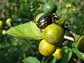 Starr-080601-5132-Solanum torvum-fruit being eaten by emerald beetles-Community garden Sand Island-Midway Atoll (24793508472).jpg