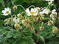 Starr-081230-0653-Montanoa hibiscifolia-flowers and fruit forming-Upper Kaulana-Kahoolawe (24833880981).jpg
