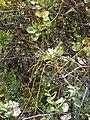 Starr-090526-8584-Cassytha filiformis-on ohia-West Poelua West Maui-Maui (24930758326).jpg