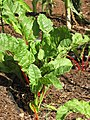 Starr-090707-2407-Beta vulgaris subsp cicla-in vegetable garden-Olinda-Maui (24673569230).jpg