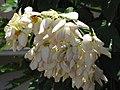 Starr-090714-2712-Mussaenda sp-white flowers-Napili-Maui (24969629065).jpg