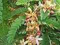 Starr-090720-2968-Tamarindus indica-flowers-Waiehu-Maui (24339397654).jpg