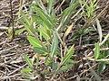 Starr-090814-4304-Lactuca sativa-leaves-Mokulele Hwy-Maui (24676715680).jpg