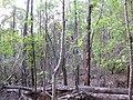 Starr-091029-8703-Fraxinus uhdei-fall foliage-Olinda-Maui (24869195722).jpg