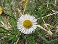 Starr-100401-4295-Erigeron karvinskianus-flowers-Polipoli-Maui (25027453515).jpg