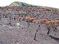 Starr-111012-0922-Psidium guajava-fire area-Kahana-Maui (25025744431).jpg