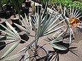 Starr-120522-6634-Bismarckia nobilis-in pots-Iao Tropical Gardens of Maui-Maui (25144024025).jpg