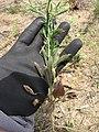 Starr-130422-4211-Lepidium virginicum-seeding habit-Kahului-Maui (24842686429).jpg