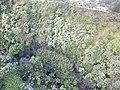 Starr-141014-2185-Caesalpinia decapetala-aerial view-Kakipi Gulch Haiku-Maui (24616553514).jpg