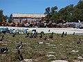 Starr-170617-0663-Solanum americanum-view Boneyard and Sea Plane Hangar with Laysan Albatross Chicks-Harbor Sand Island-Midway Atoll (36361390155).jpg