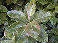 Starr 010425-0100 Ficus elastica.jpg