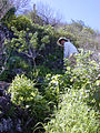 Starr 020112-0036 Panicum xerophilum.jpg