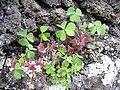 Starr 030628-0096 Oxalis corniculata.jpg