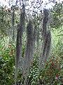 Starr 031108-0228 Tillandsia usneoides.jpg