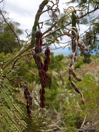 Acacia mearnsii - Acacia mearnsii seed pods