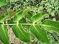 Starr 060329-6808 Munroidendron racemosum.jpg