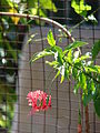 Starr 070402-6301 Hibiscus schizopetalus.jpg