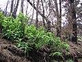 Starr 070908-9202 Rubus hawaiensis.jpg
