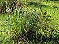Starr 080422-4279 Cyperus javanicus.jpg