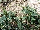 Starr 080531-5002 Amaranthus spinosus.jpg