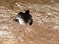 Starr 080612-8755 Casuarina equisetifolia.jpg