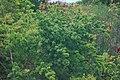 Starr 980529-1420 Asparagus densiflorus.jpg