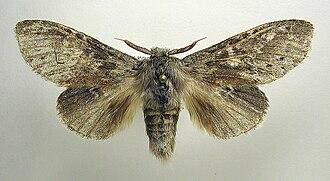 Lobster moth - Museum specimen