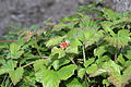 Steinbeere (Rubus saxatilis) 1.jpg