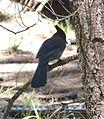 Steller's Jay. Cyanocitta stelleri - Flickr - gailhampshire.jpg