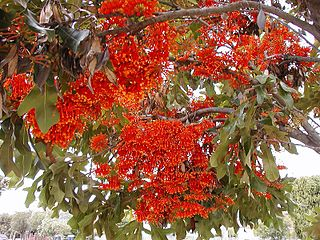 <i>Stenocarpus</i> Genus of plants of the family Proteaceae