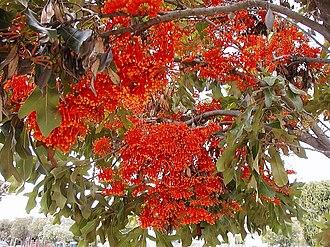 Grevilleoideae - Stenocarpus sinuatus (firewheel tree)