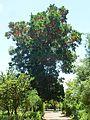 Stenocarpus sinuatus, habitus, Manie van der Schijff BT, a.jpg