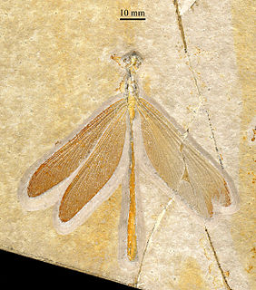 Stenophlebiidae family of insects