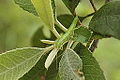 Stick Insect on Toyon (8713123580).jpg