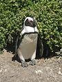 Stony Point Penguin Colony - panoramio (7).jpg