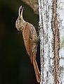 Streak-headed Woodcreeper - Darién - Panama (48444473992).jpg
