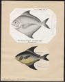 Stromateus niger - 1700-1880 - Print - Iconographia Zoologica - Special Collections University of Amsterdam - UBA01 IZ13500300.tif